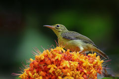 Female Brown-throated sunbird Stock Images