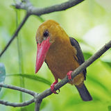 Female Brown-winged Kingfisher Stock Image