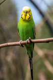Female budgerigar Stock Images