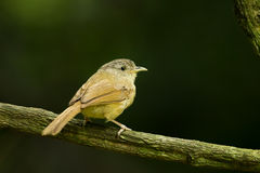Female Buff-breasted Babbler Royalty Free Stock Photo
