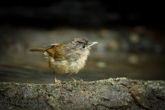 Female Buff-breasted Babbler Stock Images