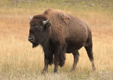 Female Buffalo Standing in a Autumn Glassland Royalty Free Stock Photography