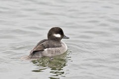 Female Bufflehead, Bucephala albeola Royalty Free Stock Photography