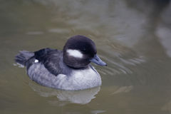 Female Bufflehead, Bucephala albeola swimming Stock Image