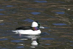 Female Bufflehead, Bucephala albeola on the water Royalty Free Stock Photos