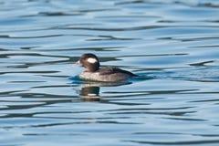Female Bufflehead duck swimming Stock Image