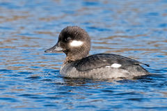 Female Bufflehead Stock Image