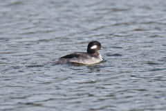 Female Bufflehead swimming Royalty Free Stock Image