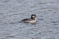 Female Bufflehead swimming Royalty Free Stock Image