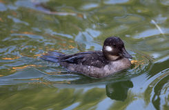 Female Bufflehead swimming Royalty Free Stock Images