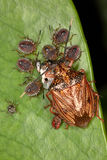 The female bug with her children (larvae) eats bee pupae. Royalty Free Stock Image