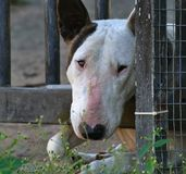 Female bull terrier dog peering through driveway gate. Bull terrier dog Royalty Free Stock Photo