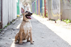 Female bull terrier dog sitting at ground in narrow passage and looking at the camera. Dog wearing dog dress Royalty Free Stock Images