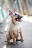 Female bull terrier dog sitting at ground in narrow passage and looking at the camera. Dog wearing dog dress Stock Photo