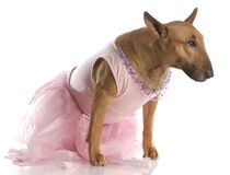 Female bull terrier in pink tutu Stock Photo