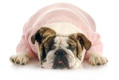 Female bulldog Stock Image