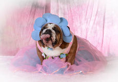 Female bulldog Stock Photo