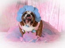 Female bulldog Royalty Free Stock Image