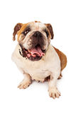 Female Bulldog With Happy Expression Stock Photos