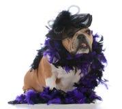 Female bulldog portrait. Female bulldog wearing hat one white background Royalty Free Stock Photo