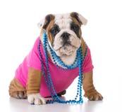 Female bulldog puppy Stock Image