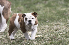 Female Bulldog puppy outside Stock Images