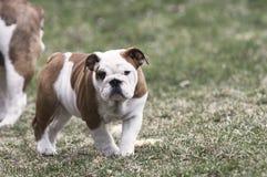 Female Bulldog puppy outside Stock Images
