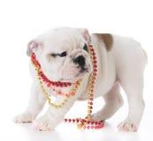 Female bulldog puppy Royalty Free Stock Photo