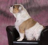 Female bulldog Stock Photography