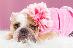Female Bulldog Wearing Pink Outfit and Flower royalty free stock photography