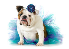 Female bulldog Royalty Free Stock Photos