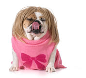 Female bulldog Stock Image