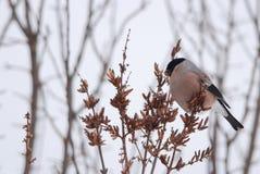 Female Bullfinch. Eating seeds in winter Stock Photo