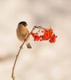 Female Bullfinch feeding on berries Stock Photography