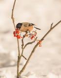 Female Bullfinch feeding on berries Royalty Free Stock Photos