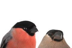 Female bullfinch Stock Image