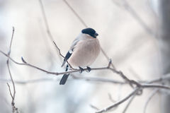 Female bullfinch,  is sitting on the branch Royalty Free Stock Photography