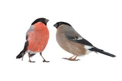 Female bullfinch Royalty Free Stock Photo