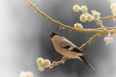 Female bullfinch on willow branch Royalty Free Stock Photography