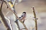 Female bullfinch in winter. Female a bullfinch sits on a mountain ash branch Royalty Free Stock Image