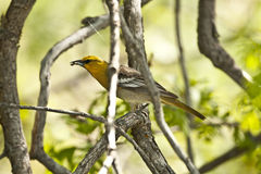 Female Bullock's Oriole. Royalty Free Stock Photos
