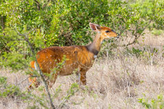 Female Bushbuck, Browsing, Nairobi National Park, Kenya Stock Photography