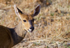 Female Bushbuck Royalty Free Stock Image