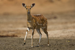 Female Bushbuck looking at camera. Female Bushbuck (Tragelaphus scriptus) looking at camera; one leg lifted Stock Photo
