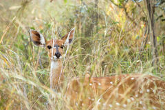 Female Bushbuck standing in tall grass Stock Images