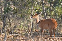 Female Bushbuck (Tragelaphus scriptus) Stock Images