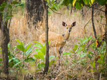 Female bushbuck Royalty Free Stock Photo