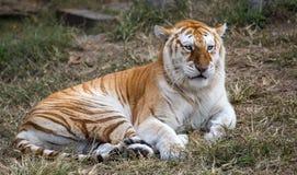 Female butterscotch Bengal tiger Panthera tigris tigris. An adult female butterscotch Bengal tiger Panthera tigris tigris stock photography