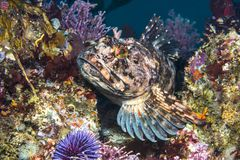 Cabezon fish on California reef. A female Cabezon game fish rests atop an underwater reef in Southern California Stock Photos