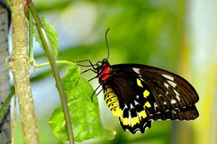 Female Cairns Birdwing butterfly, Florida Stock Photo